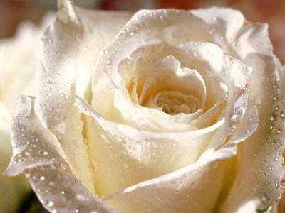 400_1184203840_white-rose-2-25oqyg3l4u-1024x7681