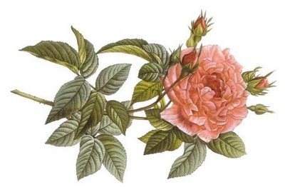 rosa_gallica_regalis